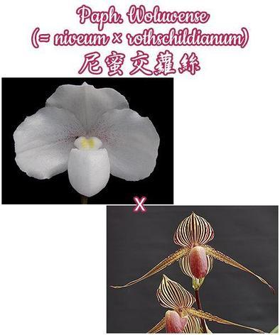"Орхидея азиатская. Под Заказ! Paph. Woluwense (niveum × rothschildianum). Размер: 3""., фото 2"