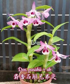 """Орхидея азиатская. Под Заказ! Den. parishii × sib. Размер: 2.5""""., фото 2"""