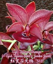 """Орхидея азиатская. Под Заказ! Cyc. Taiwan Orange (Cycd. Taiwan Gold × Jumbo Jewel). Размер: 2.5"""" / 3.5""""."""