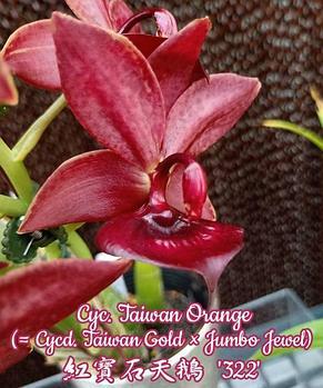 """Орхидея азиатская. Под Заказ! Cyc. Taiwan Orange (Cycd. Taiwan Gold × Jumbo Jewel). Размер: 2.5"""" / 3.5""""., фото 2"""
