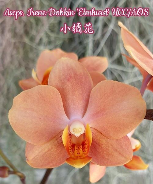 """Орхидея азиатская. Под Заказ! Ascps. Irene Dobkin """"Elmhurst"""" HCC/AOS. Размер: 2.5""""."""