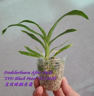 """Орхидея азиатская. Под Заказ! Fredclarkeara After Dark """"SVO Black Pearl"""" FCC/AOS. Размер: 2""""/2.5""""., фото 2"""