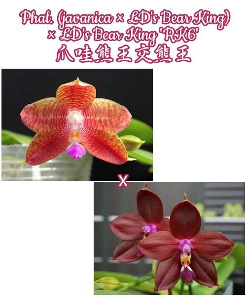 """Орхидея азиатская. Под Заказ! Phal. (javanica × LD's Bear King) × LD's Bear King """"RK6"""". Размер: 2.5""""."""