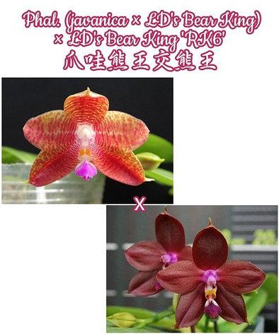 """Орхидея азиатская. Под Заказ! Phal. (javanica × LD's Bear King) × LD's Bear King """"RK6"""". Размер: 2.5""""., фото 2"""