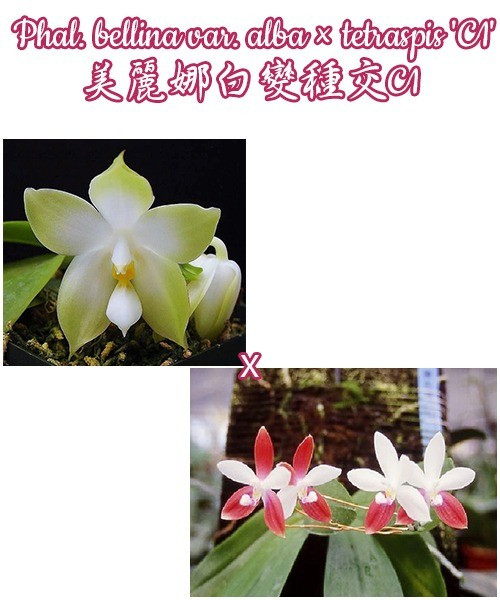 "Орхидея азиатская. Под Заказ! Phal. bellina var. alba × tetraspis ""C1"". Размер: 2.5""."