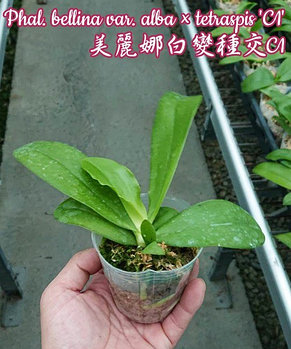 "Орхидея азиатская. Под Заказ! Phal. bellina var. alba × tetraspis ""C1"". Размер: 2.5""., фото 2"