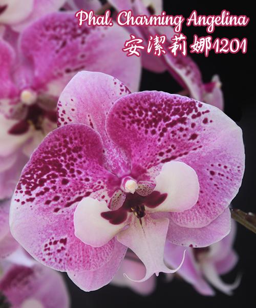 """Орхидея азиатская. Под Заказ! Phal. Charming Angelina. Размер: 2.5""""/3""""/3.5""""."""