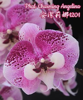 "Орхидея азиатская. Под Заказ! Phal. Charming Angelina. Размер: 2.5""/3""/3.5""., фото 2"