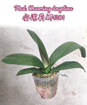 "Орхидея азиатская. Под Заказ! Phal. Charming Angelina. Размер: 2.5""/3""/3.5""., фото 3"