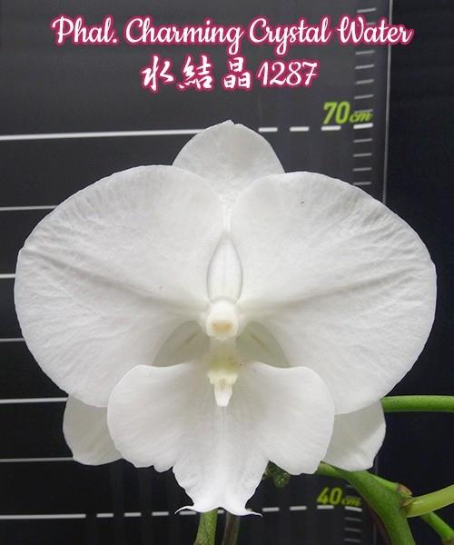 """Орхидея азиатская. Под Заказ! Phal. Charming Crystal Water. Размер: 3""""."""