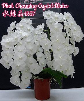 """Орхидея азиатская. Под Заказ! Phal. Charming Crystal Water. Размер: 3""""., фото 2"""