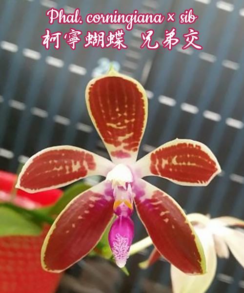 "Орхидея азиатская. Под Заказ! Phal. corningiana × sib. Размер: 2.5""."