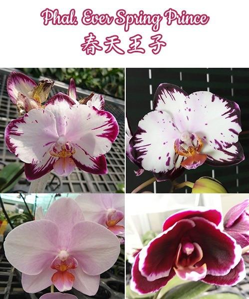 """Орхидея азиатская. Под Заказ! Phal. Ever Spring Prince. Размер: 2.5""""/3""""."""