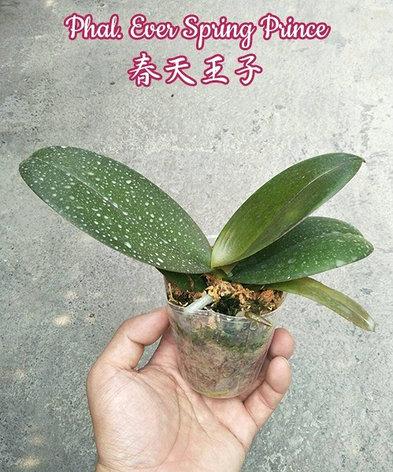 """Орхидея азиатская. Под Заказ! Phal. Ever Spring Prince. Размер: 2.5""""/3""""., фото 2"""