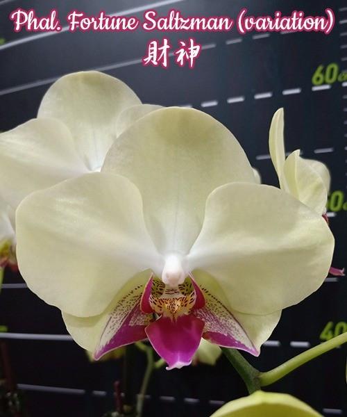 """Орхидея азиатская. Под Заказ! Phal. Fortune Saltzman (variation). Размер: 3.5""""."""