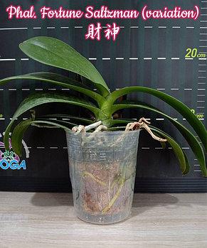 """Орхидея азиатская. Под Заказ! Phal. Fortune Saltzman (variation). Размер: 3.5""""., фото 2"""
