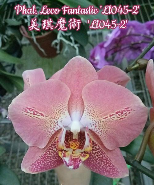 """Орхидея азиатская. Под Заказ! Phal. Leco Fantastic """"Ll045-2"""". Размер: 1.7""""."""