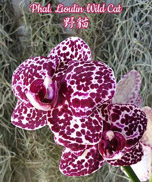 "Орхидея азиатская. Под Заказ! Phal. Lioulin Wild Cat. Размер: 1.7""/2.5""., фото 2"