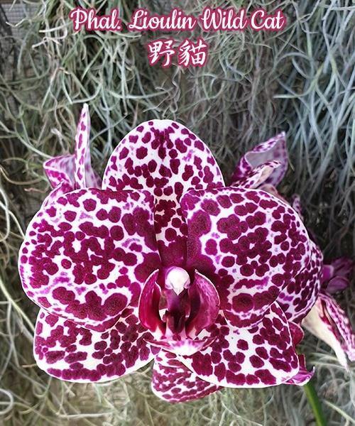 "Орхидея азиатская. Под Заказ! Phal. Lioulin Wild Cat. Размер: 1.7""/2.5""."