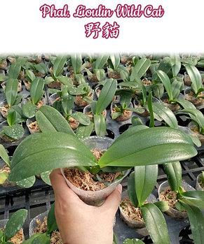 "Орхидея азиатская. Под Заказ! Phal. Lioulin Wild Cat. Размер: 1.7""/2.5""., фото 3"