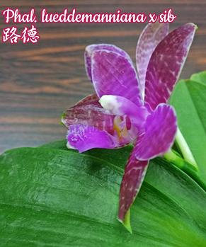 "Орхидея азиатская. Под Заказ! Phal. lueddemanniana x sib. Размер: 2.5""., фото 2"