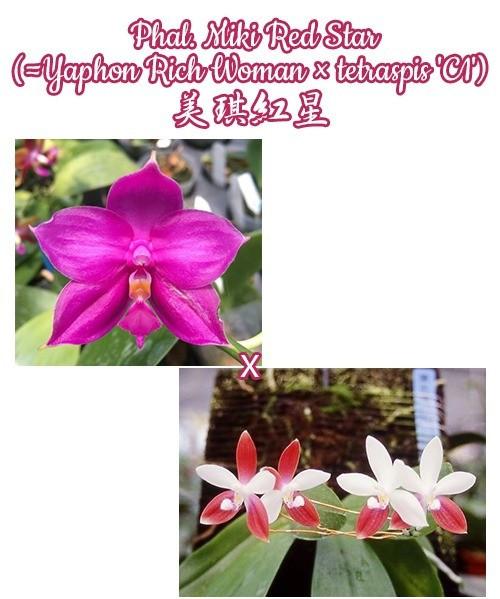"""Орхидея азиатская. Под Заказ! Phal. Miki Red Star (Yaphon Rich Woman × tetraspis """"C1""""). Размер: 2.5"""" / 3""""."""