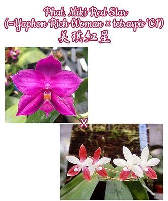 """Орхидея азиатская. Под Заказ! Phal. Miki Red Star (Yaphon Rich Woman × tetraspis """"C1""""). Размер: 2.5"""" / 3""""., фото 2"""