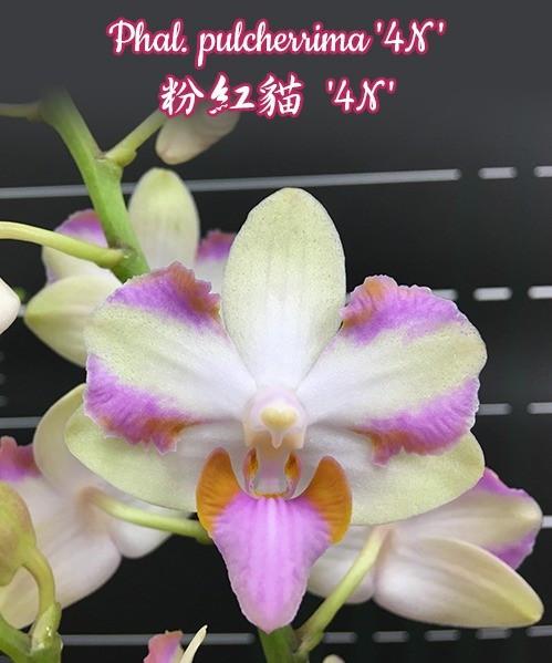 """Орхидея азиатская. Под Заказ! Phal. pulcherrima """"4N"""". Размер: 2.5""""."""