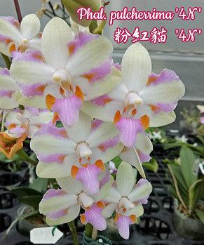 """Орхидея азиатская. Под Заказ! Phal. pulcherrima """"4N"""". Размер: 2.5""""., фото 2"""