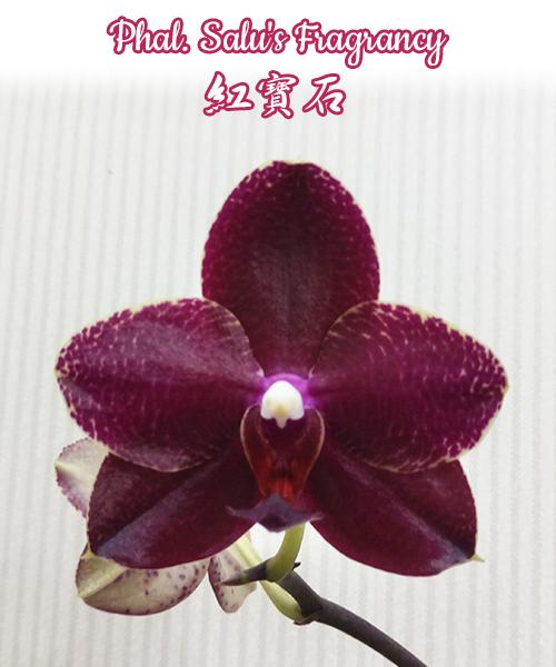 """Орхидея азиатская. Под Заказ! Phal. Salu's Fragrancy. Размер: 1.7""""/2.5""""."""