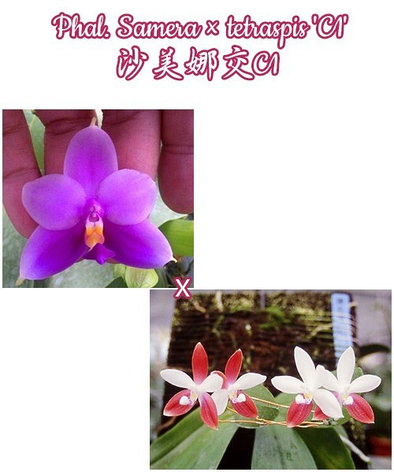 "Орхидея азиатская. Под Заказ! Phal. Samera × tetraspis ""C1"". Размер: 2.5""., фото 2"