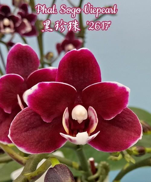 """Орхидея азиатская. Под Заказ! Phal. Sogo Viepearl. Размер: 2.5"""" / 3""""."""