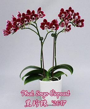 """Орхидея азиатская. Под Заказ! Phal. Sogo Viepearl. Размер: 2.5"""" / 3""""., фото 2"""