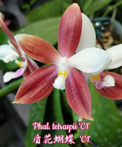 """Орхидея азиатская. Под Заказ! Phal. tetraspis """"C1"""". Размер: 2.5""""."""