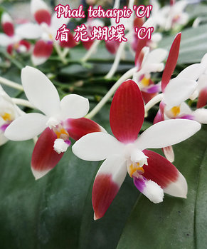 "Орхидея азиатская. Под Заказ! Phal. tetraspis ""C1"". Размер: 2.5""., фото 2"