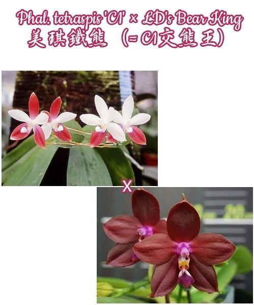 """Орхидея азиатская. Под Заказ! Phal. tetraspis """"C1"""" × LD's Bear King. Размер: 2.5"""" / 3""""."""