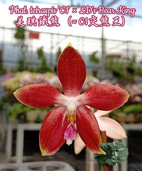 """Орхидея азиатская. Под Заказ! Phal. tetraspis """"C1"""" × LD's Bear King. Размер: 2.5"""" / 3""""., фото 2"""