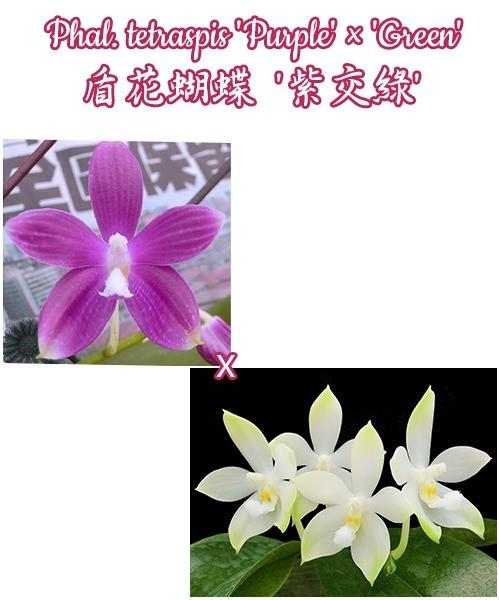"""Орхидея азиатская. Под Заказ! Phal. tetraspis """"Purple"""" × """"Green"""". Размер: 2.5""""."""