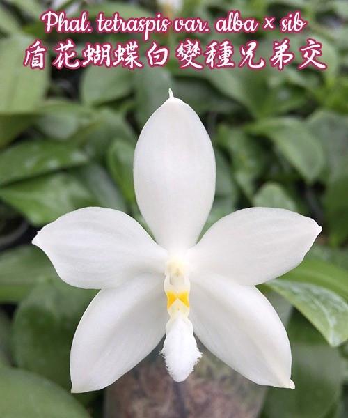 """Орхидея азиатская. Под Заказ! Phal. tetraspis var. alba x sib. Размер: 2.5""""."""
