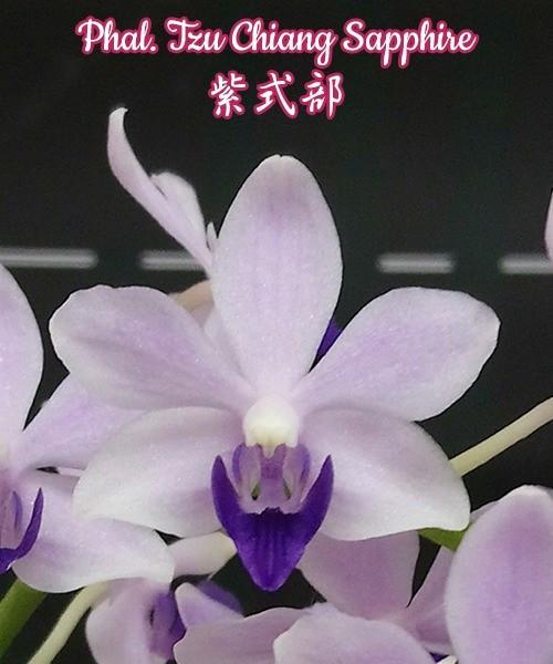"""Орхидея азиатская. Под Заказ! Phal. Tzu Chiang Sapphire. Размер: 2.5""""."""