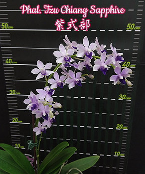 "Орхидея азиатская. Под Заказ! Phal. Tzu Chiang Sapphire. Размер: 2.5""., фото 2"