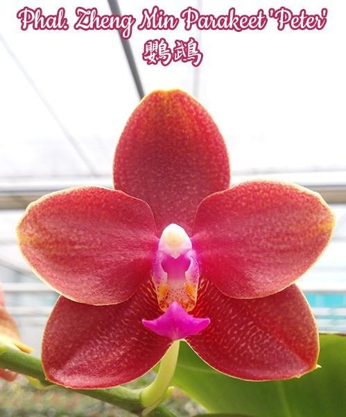 """Орхидея азиатская. Под Заказ! Phal. Zheng Min Parakeet """"peter"""". Размер: 2.5""""."""