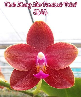 """Орхидея азиатская. Под Заказ! Phal. Zheng Min Parakeet """"peter"""". Размер: 2.5""""., фото 2"""