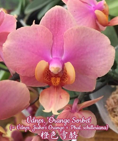 """Орхидея азиатская. Под Заказ! Vdnps. 'Orange Sorbet' (Vdnps. Jiaho's Orange ×). Размер: 1.7""""."""