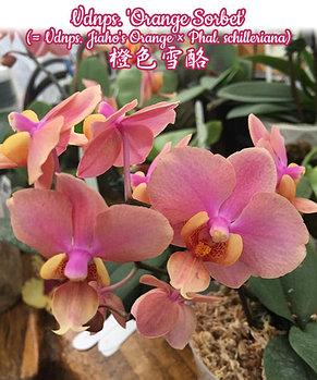 "Орхидея азиатская. Под Заказ! Vdnps. 'Orange Sorbet' (Vdnps. Jiaho's Orange ×). Размер: 1.7""., фото 2"