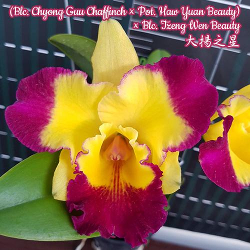 """Орхидея азиатская. Под Заказ! Blc. Chyong Guu Chaffinch × Pot. Haw Yuan Beauty. Размер: 3""""."""