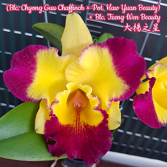 """Орхидея азиатская. Под Заказ! Blc. Chyong Guu Chaffinch × Pot. Haw Yuan Beauty. Размер: 3""""., фото 2"""