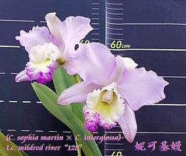 "Орхидея азиатская. Под Заказ! C. sophia martin × C. interglossa × Lc. mildred river ""128"". Размер: 3.5""."