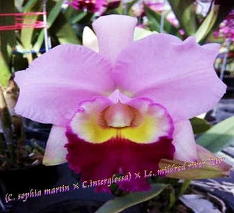 "Орхидея азиатская. Под Заказ! C. sophia martin × C.interglossa × Lc. mildred river ""116"". Размер: 3.5""., фото 2"