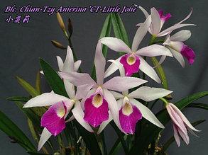 "Орхидея азиатская. Под Заказ! C.Button Top x Bc.Morning Glory ""CT-Little Jolie"". Размер: 1.7""."